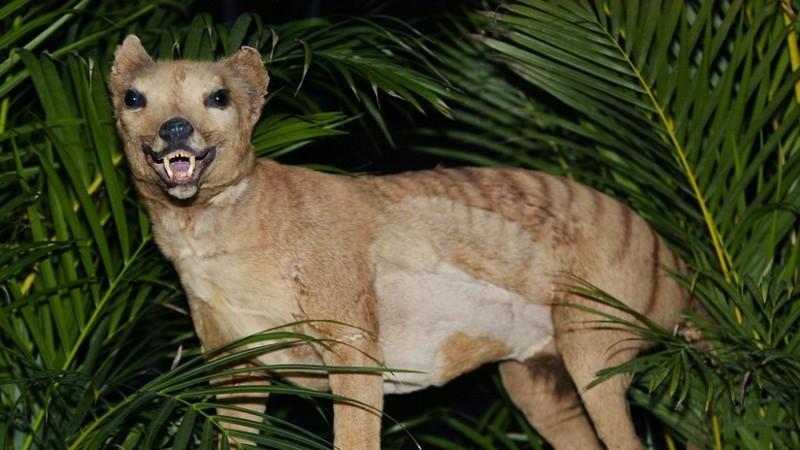 El tigre de Tasmania fue declarado extinto en 1936. Espécimen en el Museo Australiano, ubicado en el estado de Nueva Gales del Sur, Australia