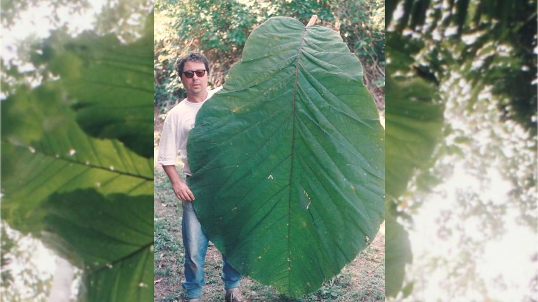 Árbol amazónico con hojas más grandes que un humano es identificado como nueva especie