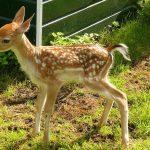 Cambio climático estaría alterando a los ciervos para que den a luz antes de tiempo
