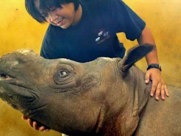 El último Rinoceronte de Sumatra en Malasia ha muerto y es declarado oficialmente extinto en dicho país