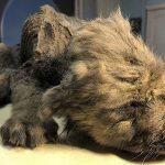 Hallan un cachorro de 18.000 años perfectamente conservado en el permafrost de Siberia