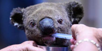 Los Koalas están «funcionalmente extintos» mientras los incendios forestales acaban con su hábitat