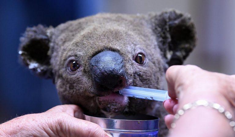 Extinción de los Koalas es inevitable, mientras los incendios forestales acaban con su hábitat