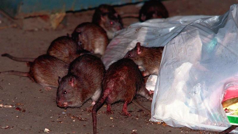 La peste es causada por la bacteria Yersinia pestis. Los roedores, como las ratas, portan esta enfermedad. Se propaga por medio de sus pulgas