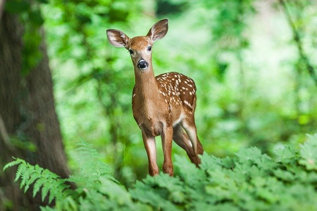 Cambio climático estaría cambiando a los ciervos para que den a luz antes de tiempo