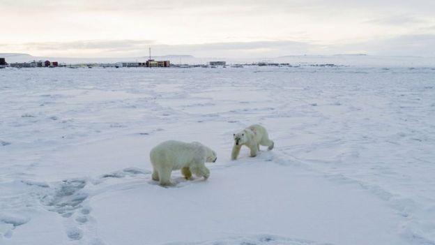 Más de 50 osos polares se refugian fuera de una aldea en Rusia debido al deshielo