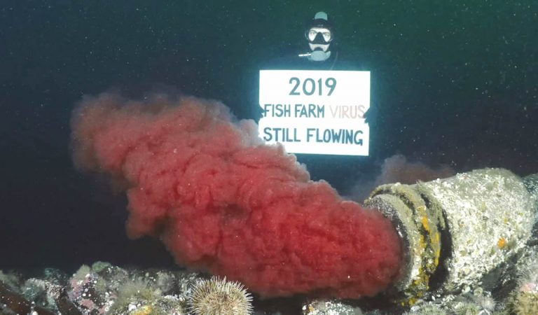 Tuberías de aguas residuales siguen bombeando sangre con virus en la ruta de migración del salmón