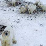Más de 50 osos polares se han reunido fuera de una aldea en Rusia debido al deshielo