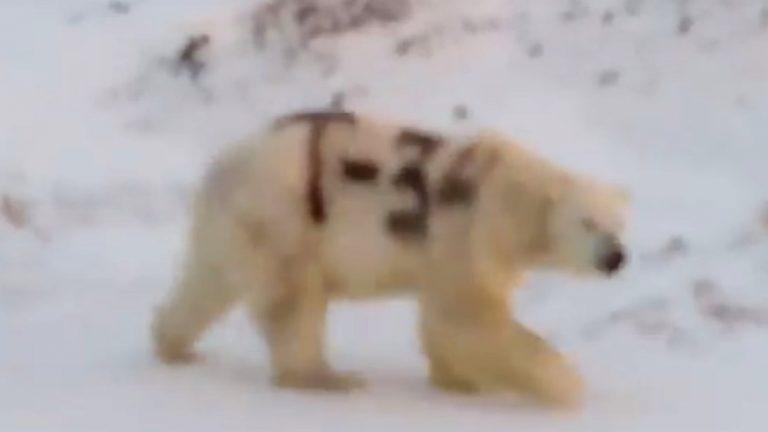 Alguien ha pintado con aerosol negro a un oso polar salvaje
