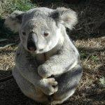 Australia: 50 por ciento de koalas murieron en incendios