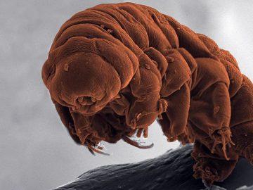 Científicos encuentran el «punto débil» de los tardígrados