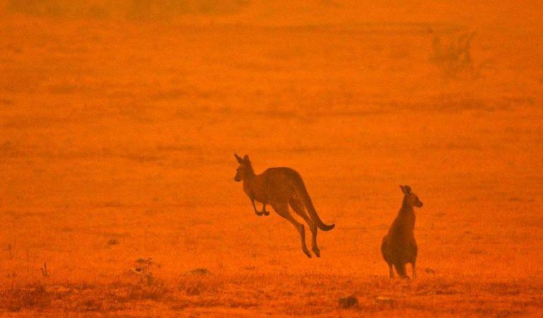 Más de mil millones de animales muertos en Australia por incendios forestales