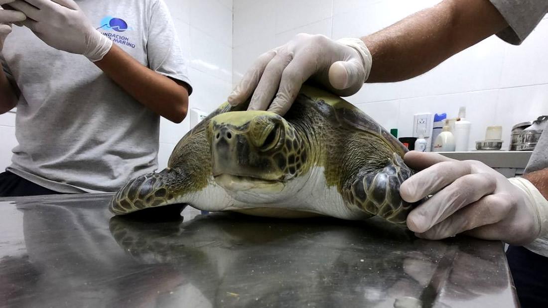 Tortuga marina rescatada estaba llena de basura humana