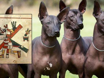 El perro Xoloitzcuintle de México: orígenes, historia y leyendas aztecas