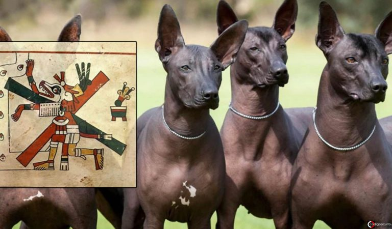 Perro Xoloitzcuintle de México: orígenes, historia y leyendas aztecas