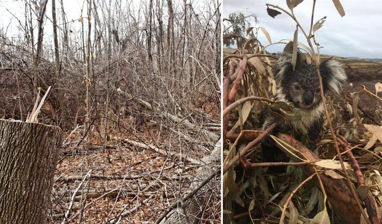 Cientos de koalas «masacrados» en plantaciones madereras en Australia