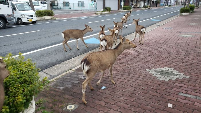 Animales silvestres toman las calles del mundo en plena cuarentena