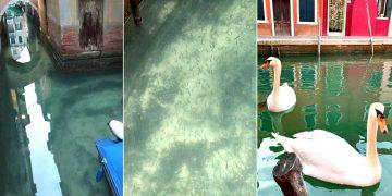 Cisnes y cientos de peces vuelven a los canales de Venecia luego de la cuarentena en Italia