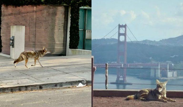 Coyotes deambulan por las calles de San Francisco durante la cuarentena