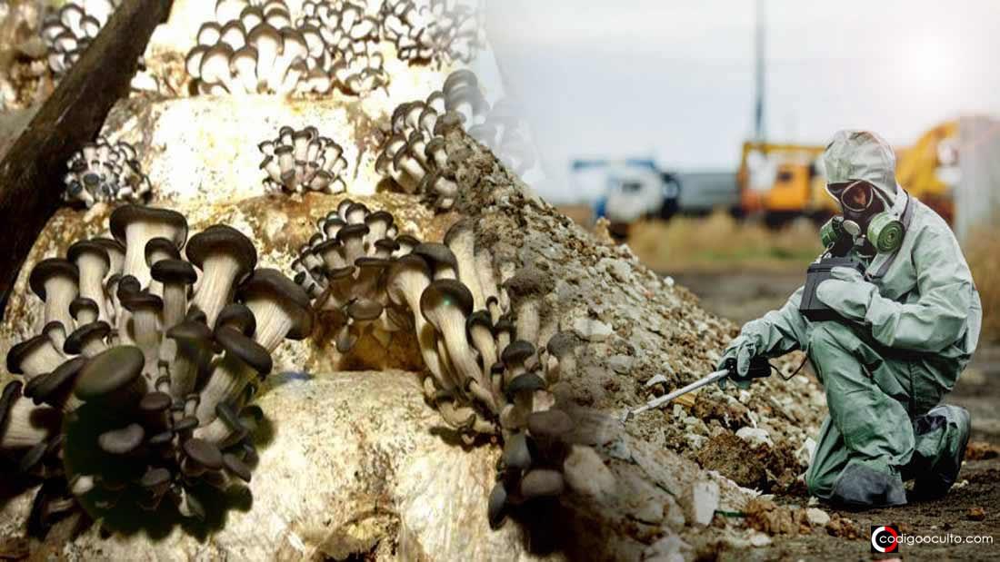 Hongos de Chernóbil «evolucionaron» y ahora viven gracias a la radiación