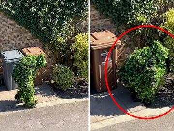 Persona se disfraza de arbusto para salir de su casa en la cuarentena