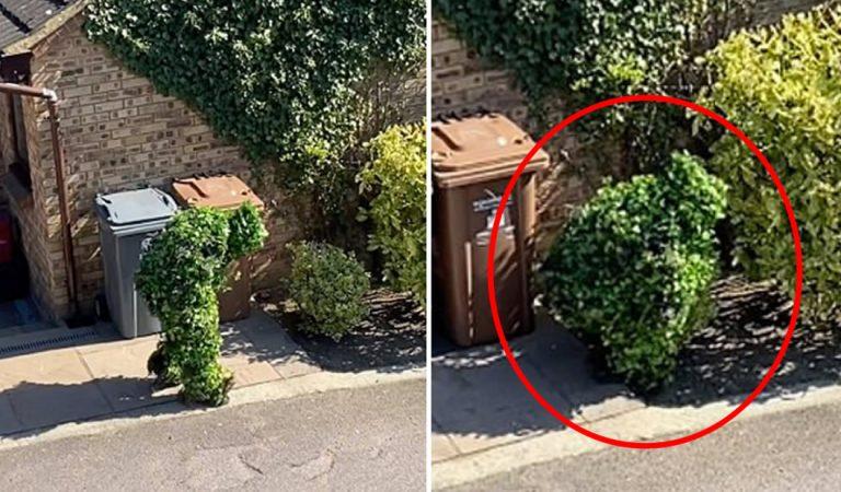 Persona se disfraza de arbusto para salir de su casa en la cuarentena (Vídeo)