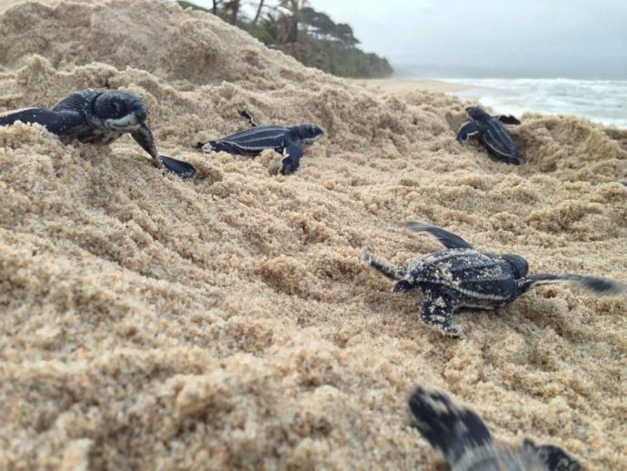 Raras tortugas marinas gigantes regresan a playas libres de turistas en todo el mundo
