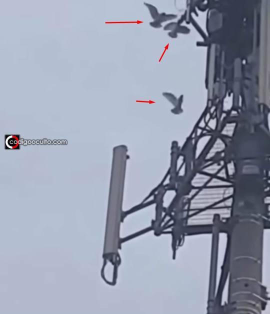 ¿Aves han empezado atacar Torres 5G? ¿Se sienten amenazadas?