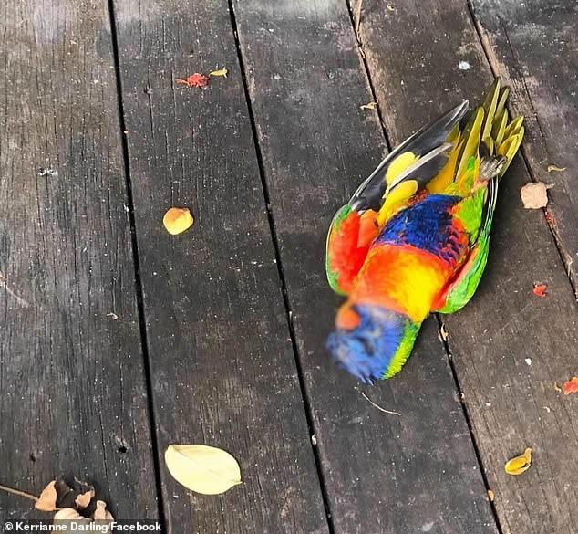 Cientos de pájaros arco iris caen en Australia «asfixiados» debido a misterioso virus