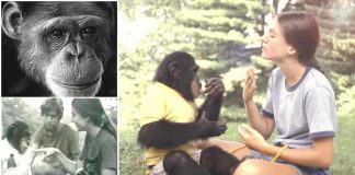 El Mono que Aprendió a comunicarse con los humanos y reveló algo sorprendente para el mundo
