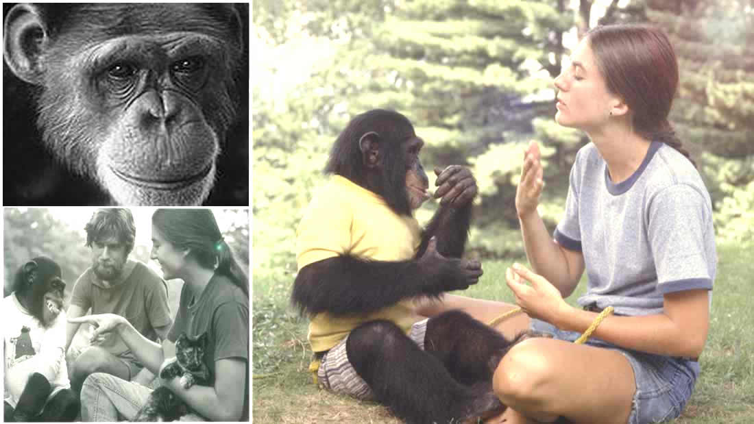 El Mono que Aprendió a comunicarse con los humanos y reveló algo sorprendente para el mundo (Vídeo)