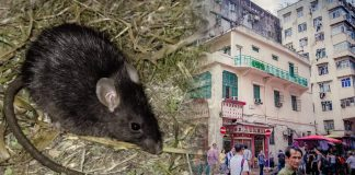 Personas en Hong Kong están infectándose por virus de hepatitis de ratas, pero nadie sabe cómo