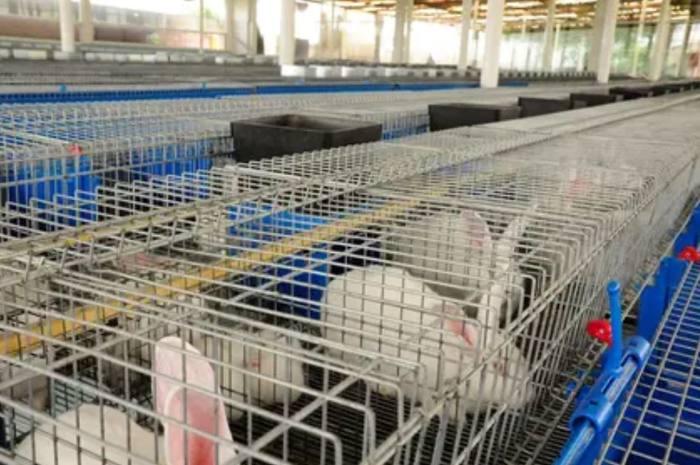 Virus altamente contagioso y letal se está propagando en conejos en EE.UU. y México