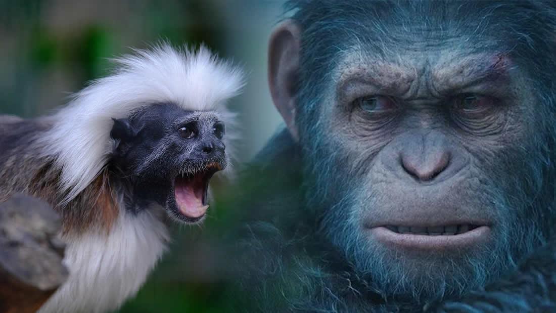 Científicos han desarrollado cerebros de mono más grandes con genes humanos
