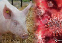 Nueva cepa de Gripe Porcina con potencial de pandemia es descubierta en China