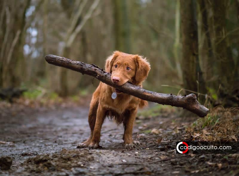 Investigación revela que perros pueden usar campo magnético de la Tierra para «explorar»