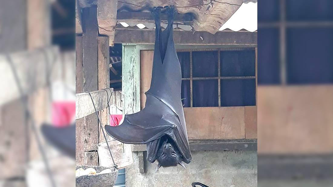 La verdad del murciélago de aparente «tamaño humano» que se hizo viral