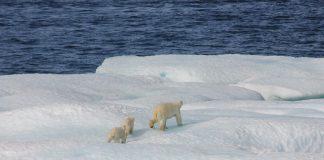 Osos polares se extinguirán antes de 2100, indica investigación