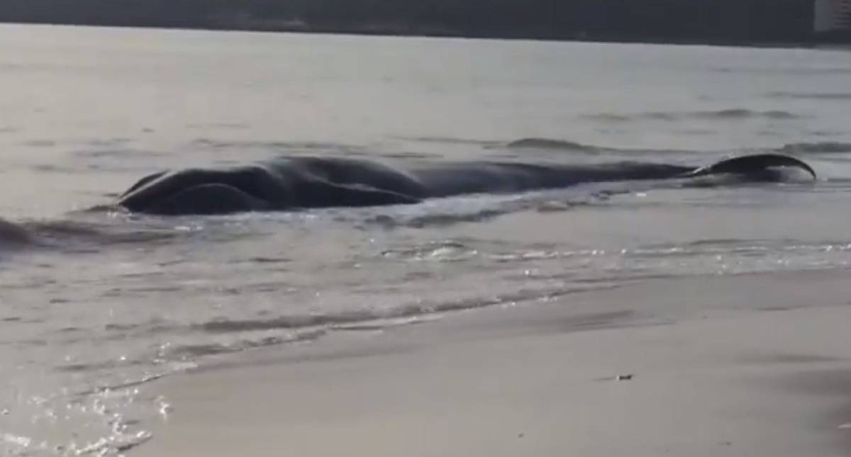 Acusan a ejercicios de la OTAN por recientes varamientos de ballenas en Europa