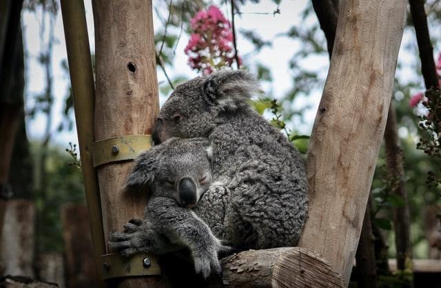 Número de koalas se desploma: especie se desliza hacia la extinción
