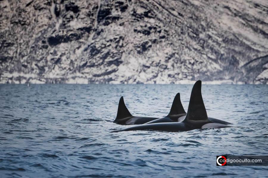 Orcas en peligro de extinción están atacando embarcaciones tras percibir posible amenaza (VÍDEO)