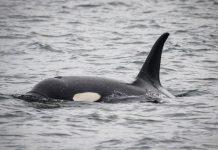Orcas en peligro de extinción están atacando embarcaciones tras percibir posible amenaza