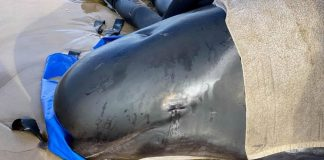 Tras el varamiento de ballenas en Australia: las más débiles serían sacrificadas. Cientos ya han muerto