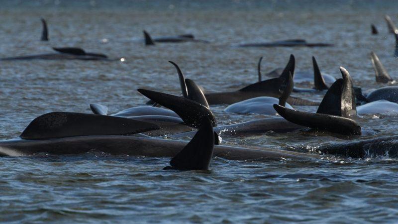 El peor varamiento de ballenas de Tasmania ha ocurrido: más de 450 ballenas atrapadas
