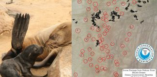 Sin precedentes: más de 5.000 crías de foca muertas encontradas en playa de Namibia