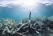 Corales de la Gran Barrera de Coral en fuerte declive