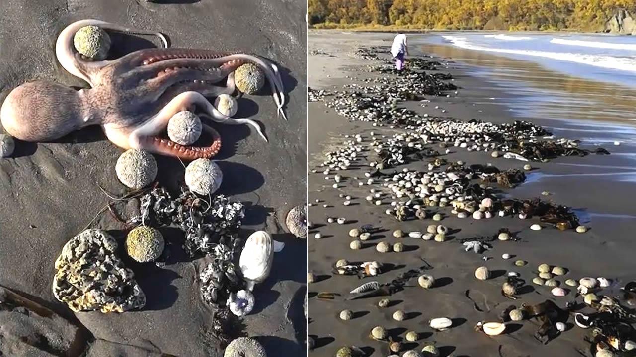 Marea tóxica acaba con la vida marina en península de Kamchatka en Rusia. Desastre ecológico