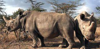 Solo quedan dos rinocerontes blancos del norte. Y son hembras