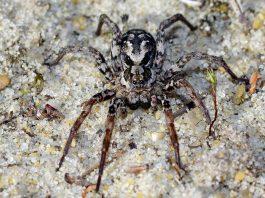 Descubren en Reino Unido una enorme araña que se creía extinta