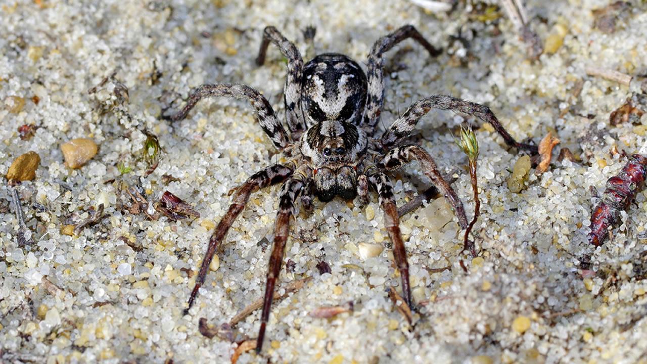 Redescubren en Reino Unido una enorme araña que se creía extinta (VÍDEO)